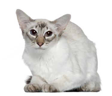 Katzenrasse Balinesenkatze