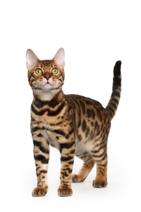 Katzenrasse Bengalkatze