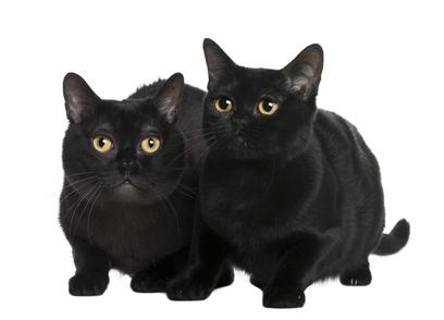 Bombaykatze Katzenfutter