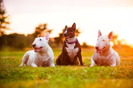 Bullterrier Hunderasse