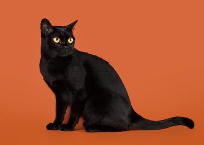 Katzenrasse Bombaykatze