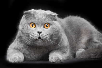 Katzenrasse Scottish Fold