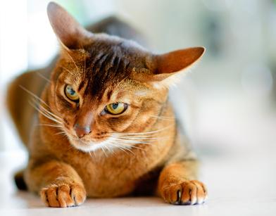 Wild Abyssinian Katzenbilder