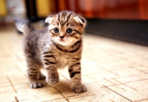 Scottish Fold Futter