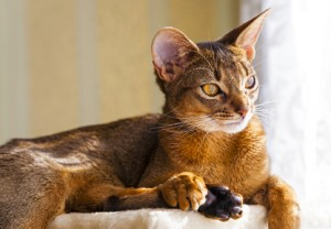 Katzenrasse Wild Abyssinian