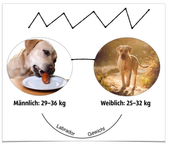 Labrador Gewicht: Männlich & Weiblich