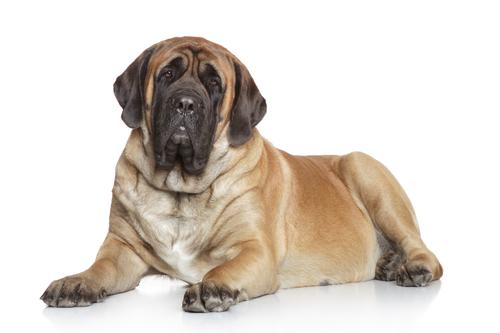 Hunderasse Mastiff