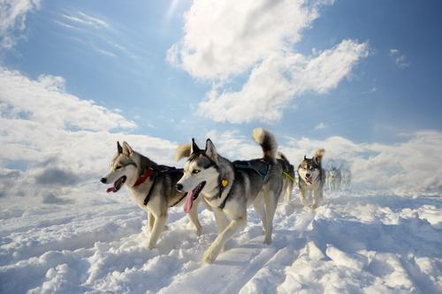 Siberian Husky Bilder