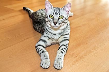 Katzenrasse Ägyptische Mau