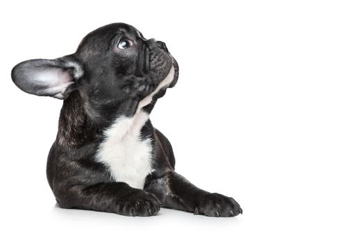 Französische Bulldogge Bilder