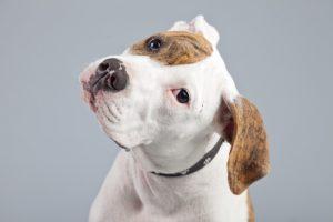 Hunderasse American Bulldog