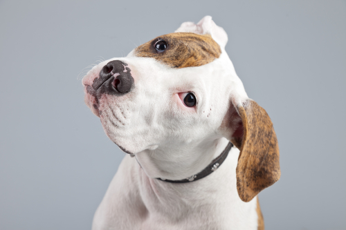 American Bulldog Hundefutter