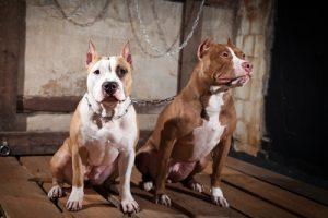 Hunderasse Amerikanischer Pit-Bullterrier